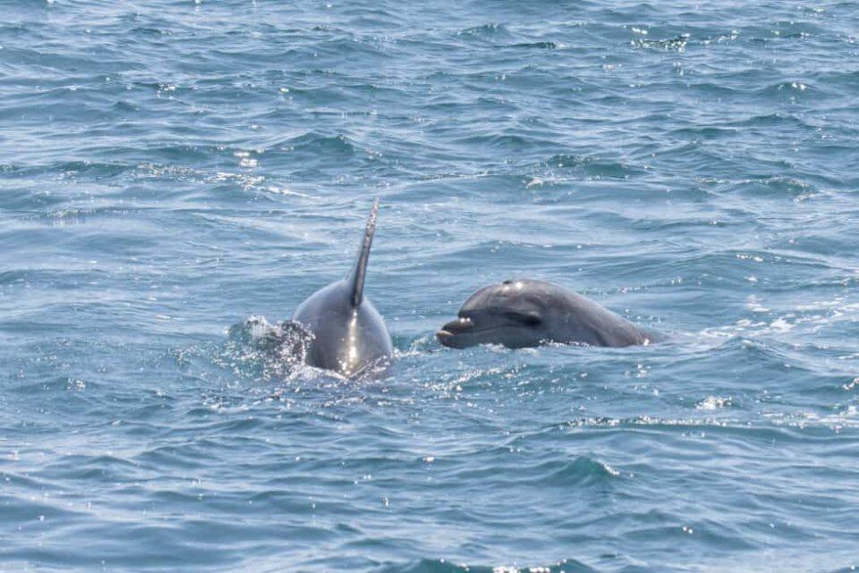 De meest geziene dolfijnensoorten tijdens boottochten zijn vaak de tuimelaars.