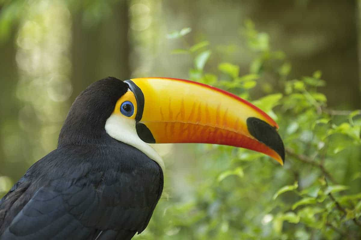 Brazilie Pantanal Toco Toekan