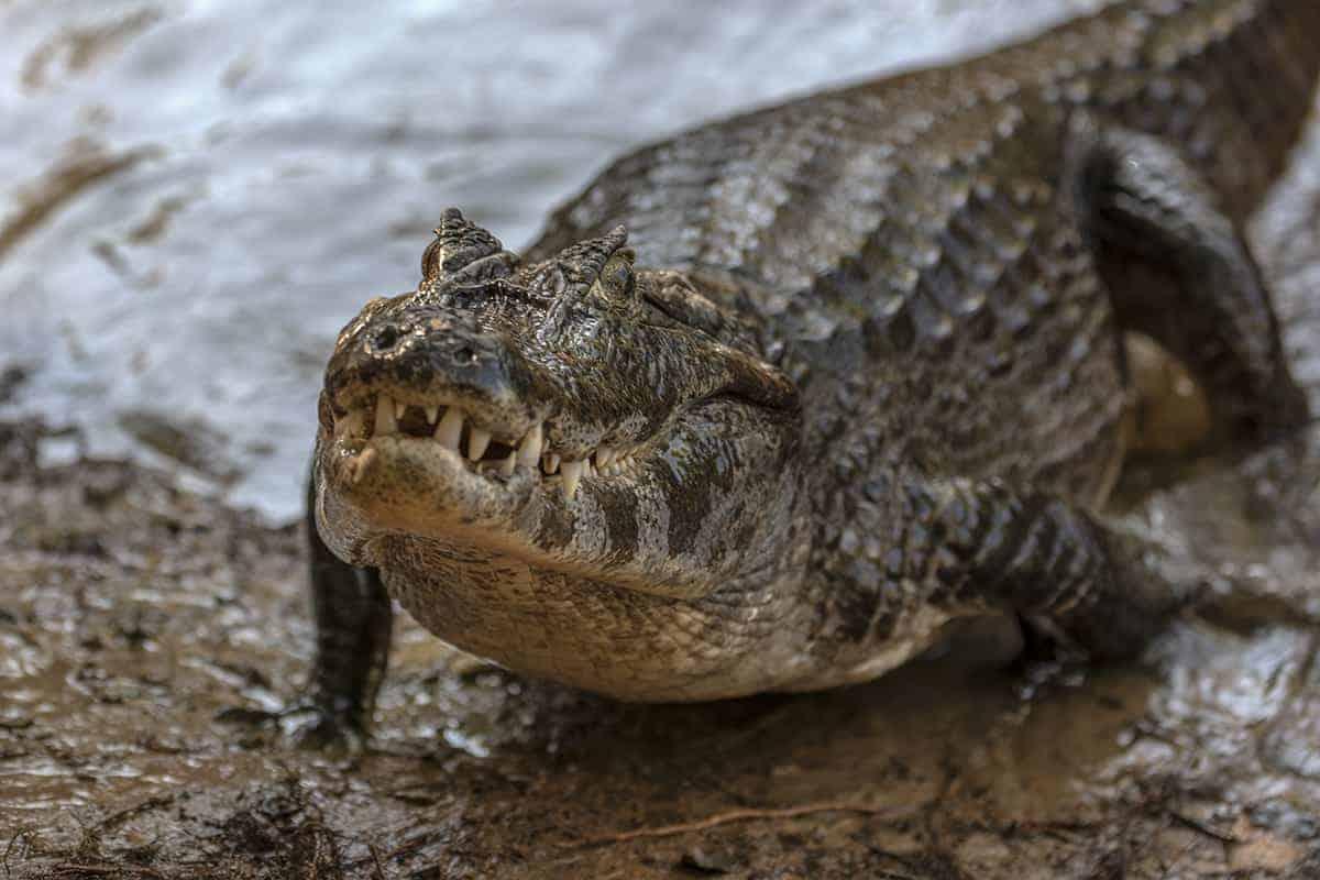 Brazilie Pantanal Yacare Kaaiman