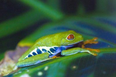 Fotoreis Brazilie - Roodoogkikker op een blad