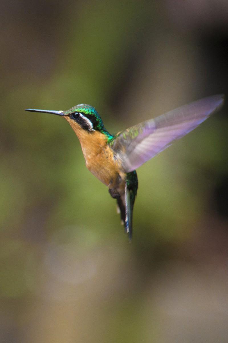Vrolijk gekleurde kolibri in Costa Rica.