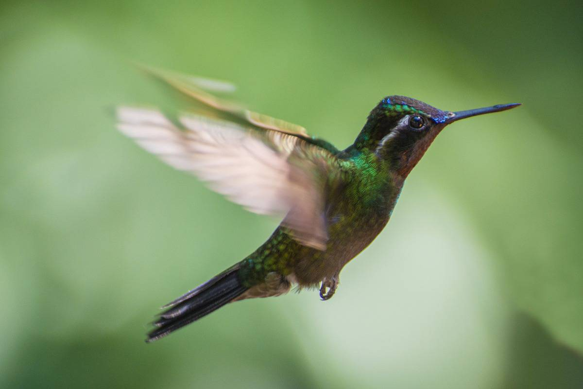 Costa Rica kolibri