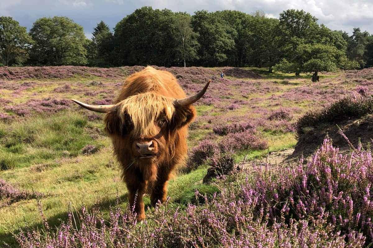 Schotse Hooglander op de Drentse heide - Fotografie-reizen