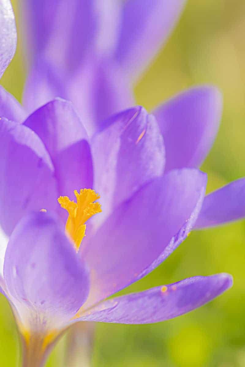 Fotocursus macrofotografie paarse krokus