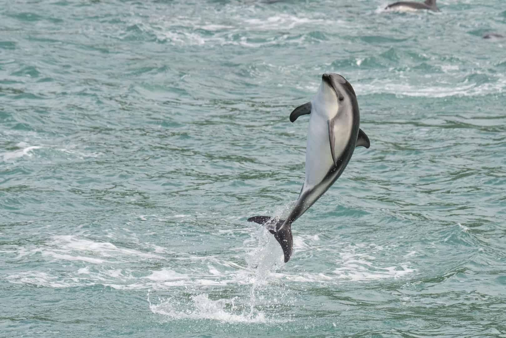 Fotograferen van een dolfijn die uit het water springt