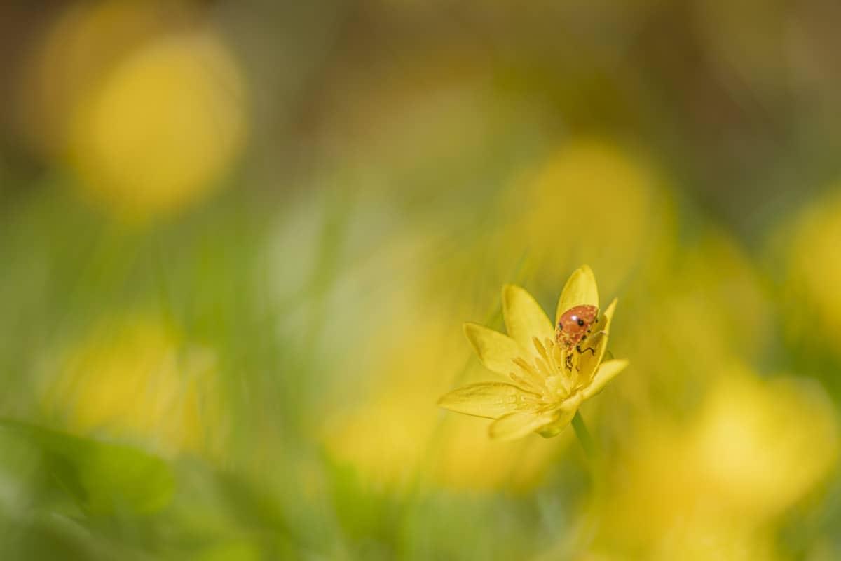 Fotografie cursus Macro fotografie lieveheersbeestje op bloem