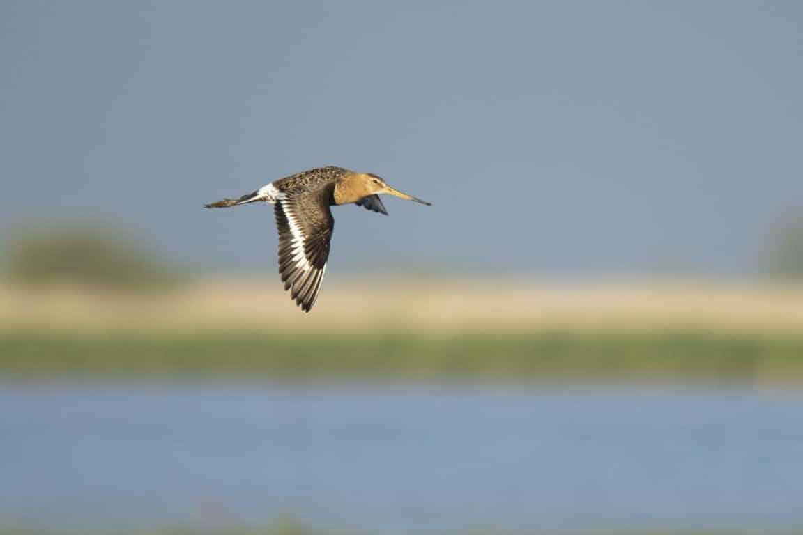 Fotografie cursus Workshop wildlife fotografie - Grutto