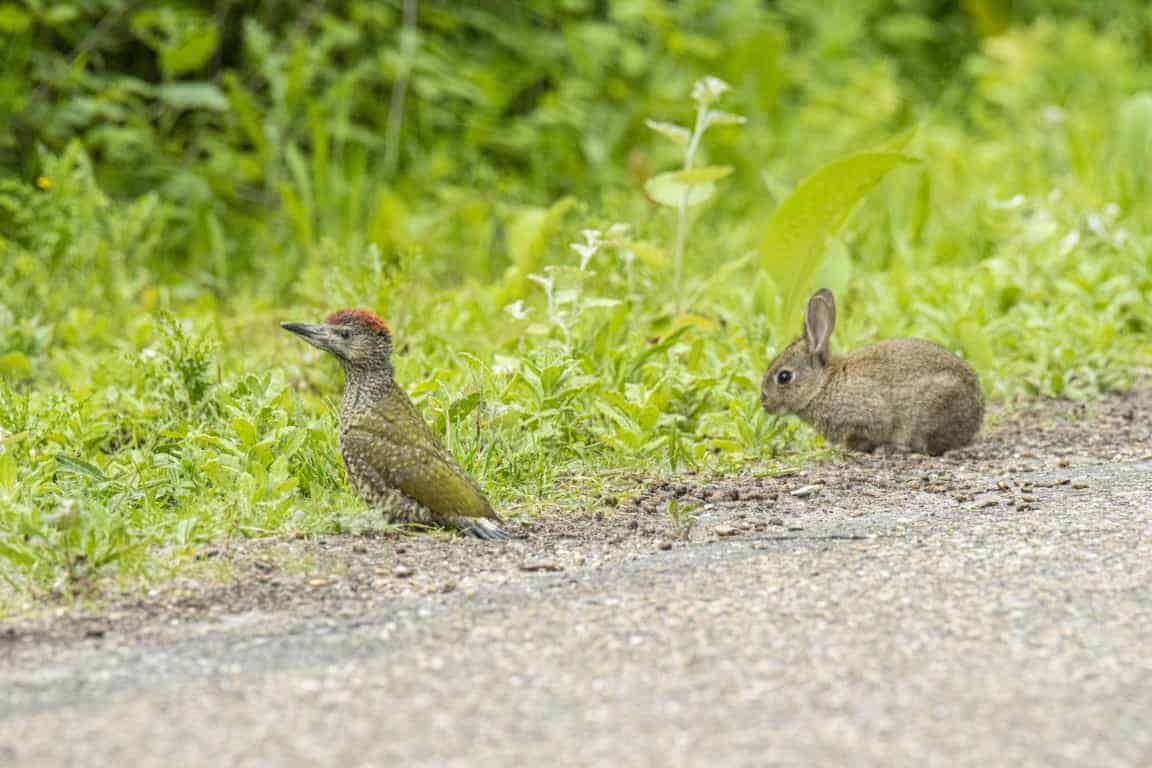 Fotografie cursus Workshop wildlife fotografie - Jonge groene specht en jong konijn