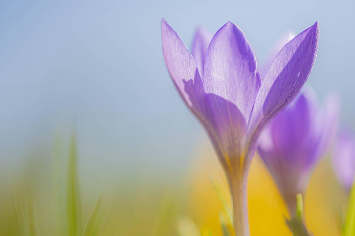 Fotografie cursus macrofotografie paarse krokus