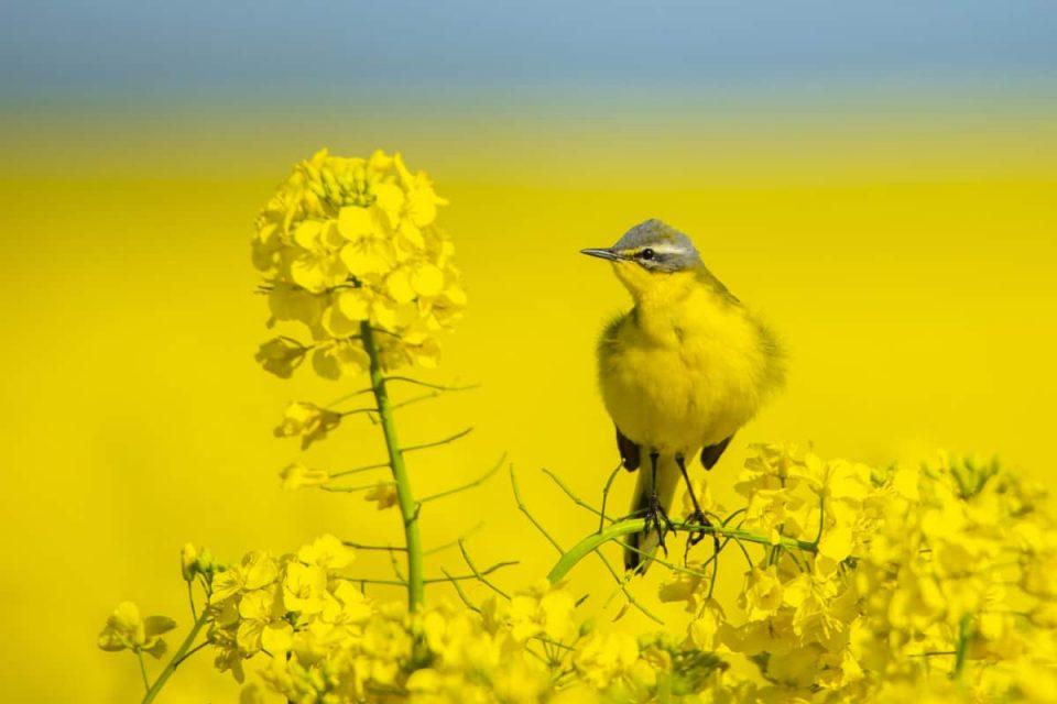 Fotografie tips Vogels fotograferen gele kwikstaart in geel koolzaadveld