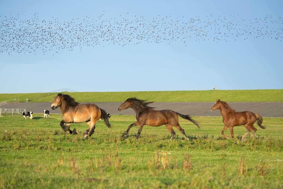 Noordpolderzijl rennende paarden