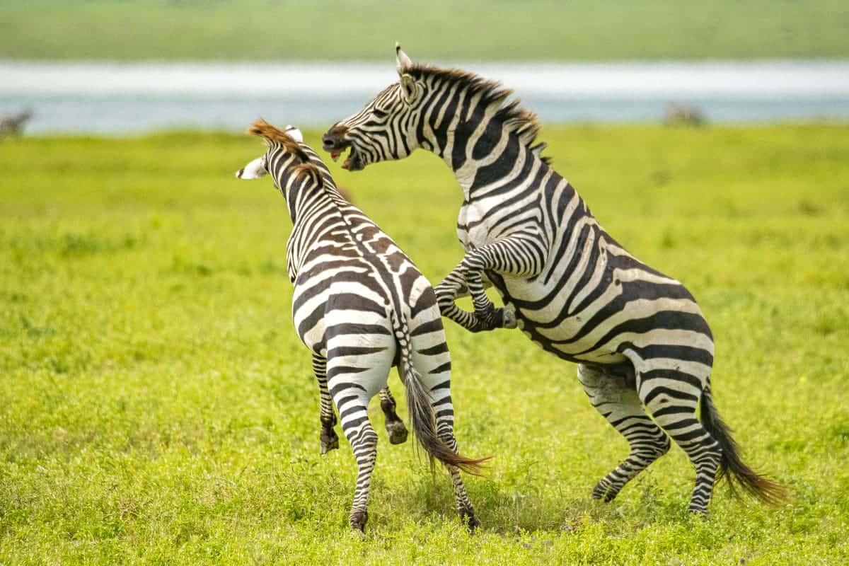Fotoreis Afrika Ngorongoro Crater Tanzania vechtende zebra's