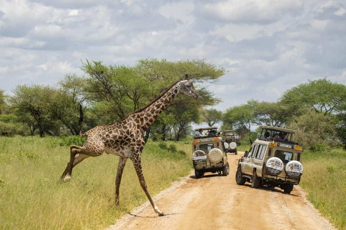 Fotoreis Afrika Tanzania Giraffe steekt over