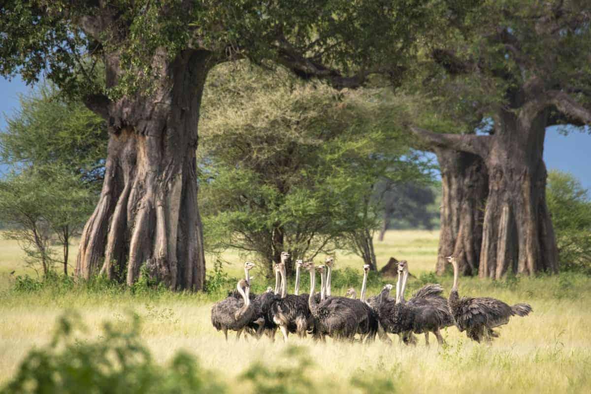 Struisvogels onder baobab bomen Fotoreis Afrika Tanzania