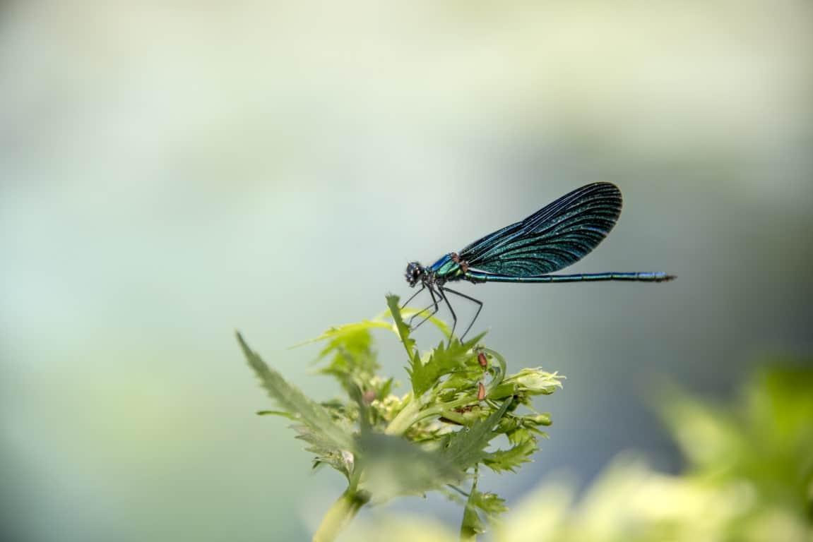 Fotoreis Albanië - Vlinder op een bloem bij Syri I Kalker (Bleu Eye)