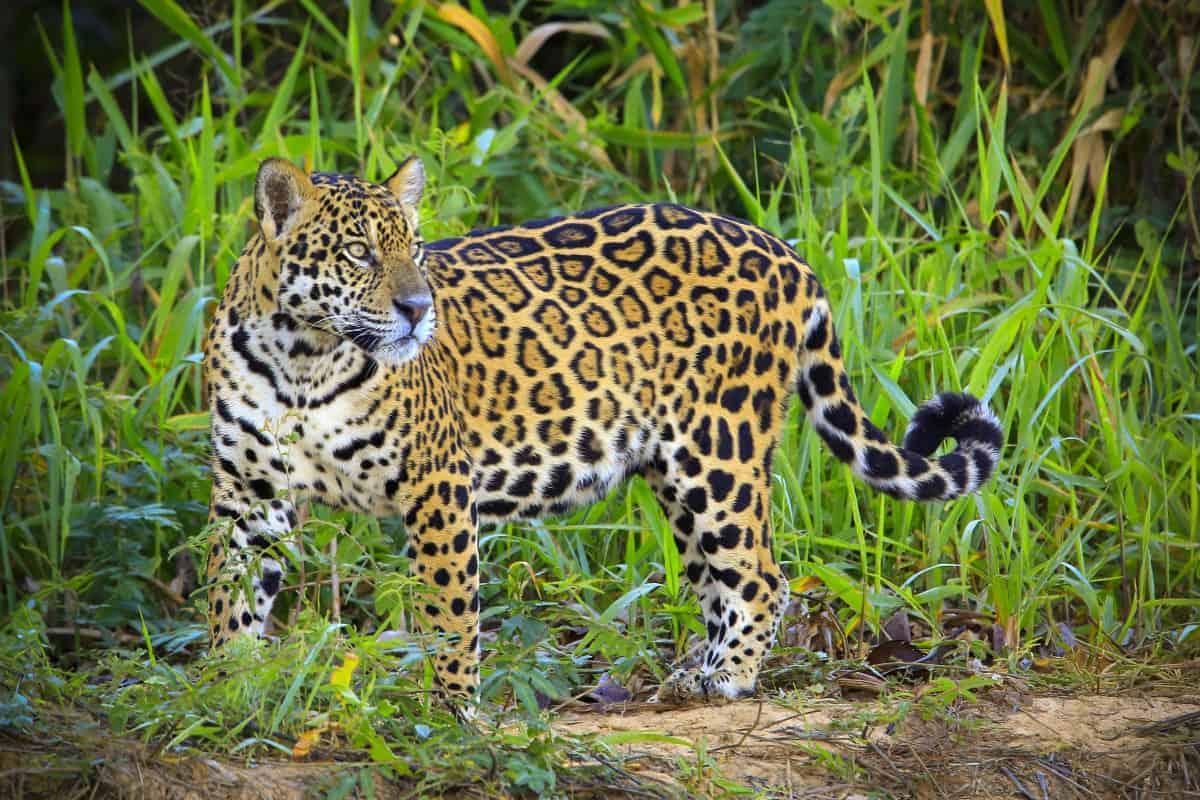 Fotograferen door Pantanal Brazilië, de jaguar