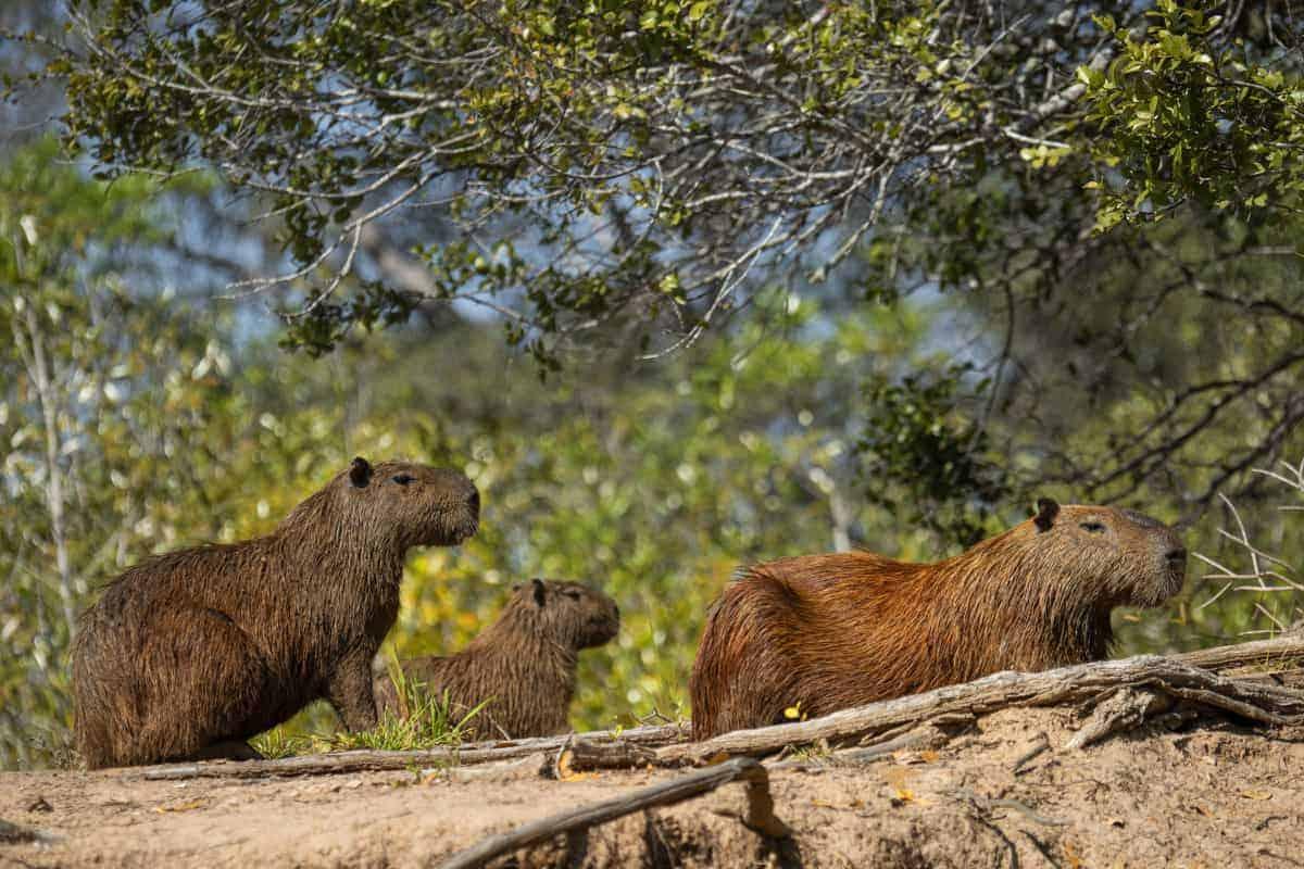Capibari's in Pantanal fotografiereis Brazilië