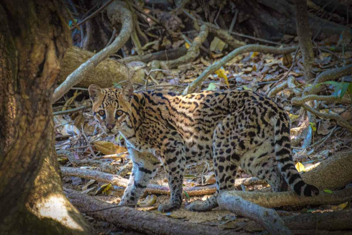 Ocelot in Pantanal fotografiereis.