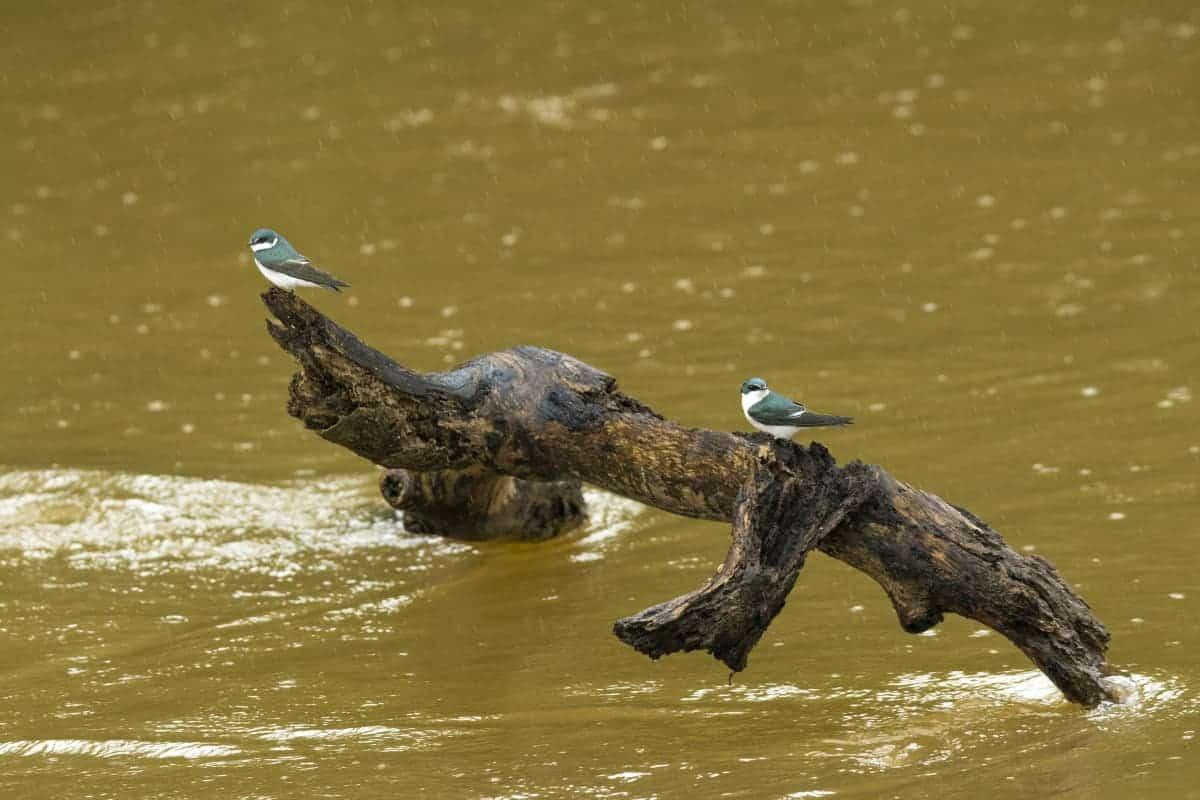 Vogels op boomstam tijdens de fotoreis Costa Rica