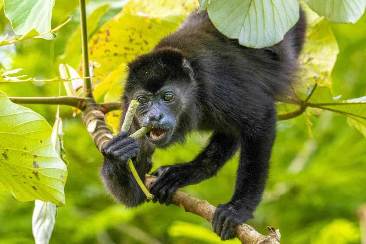 Brulaap tijdens een van de fotoreizen door Costa Rica