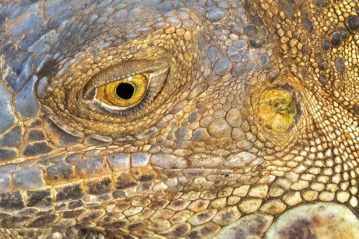 Oog van een leguaan fotoreis Costa Rica