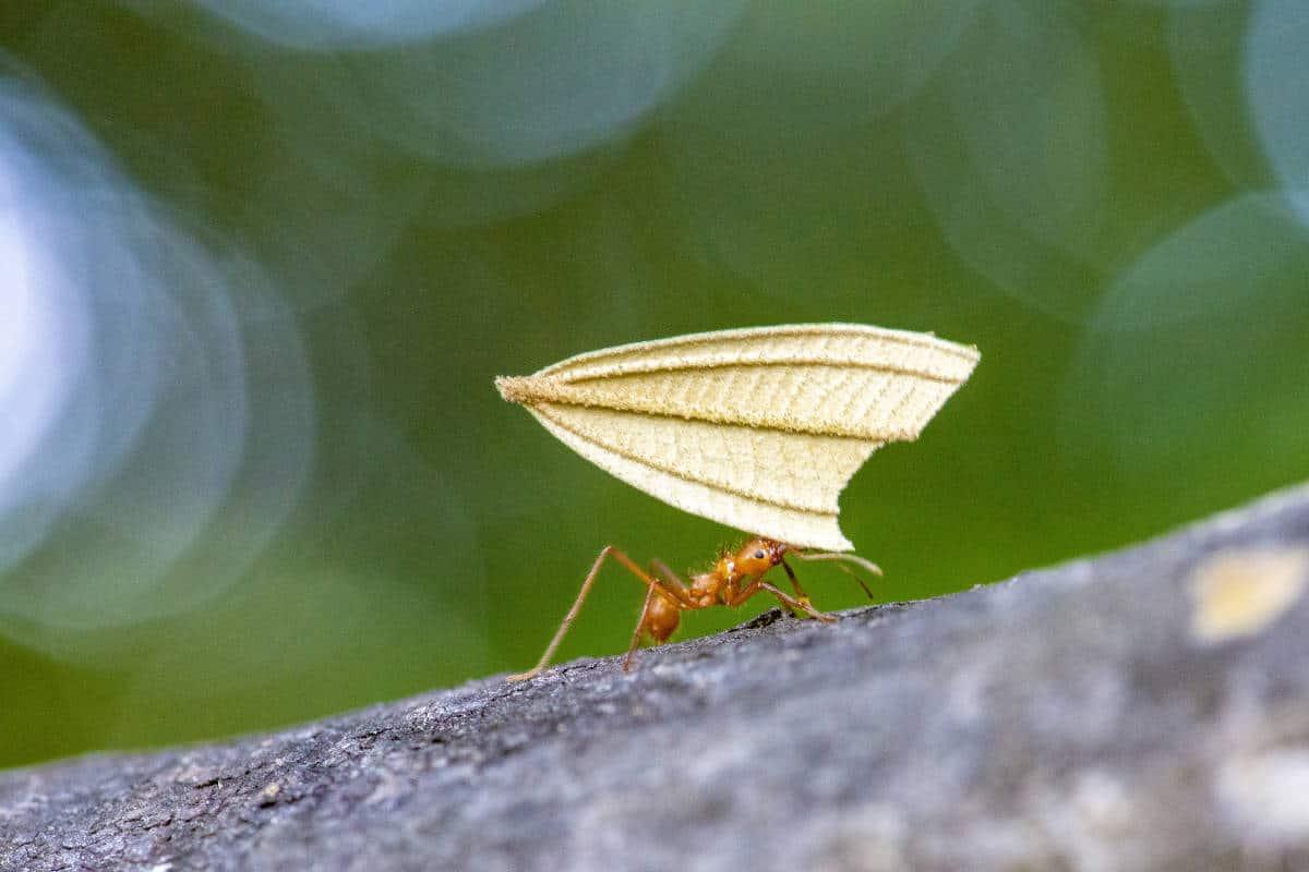 Mier met blad tijdens fotografiereis Costa Rica