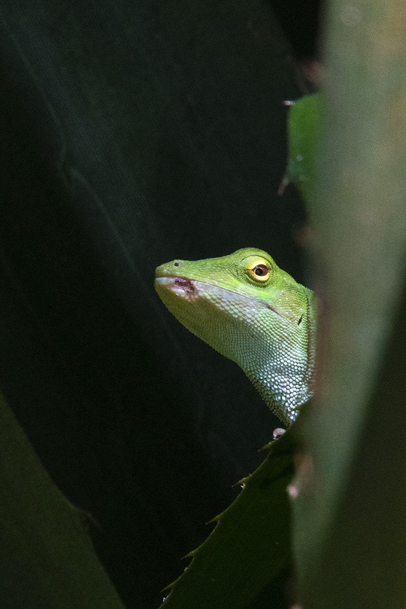 Fotografiereis Costa Rica basilisk kiekeboe