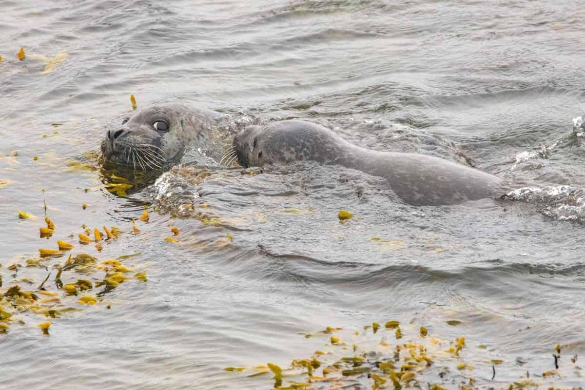 Fotoreis IJsland Zomer zeehonden Hvitserkur