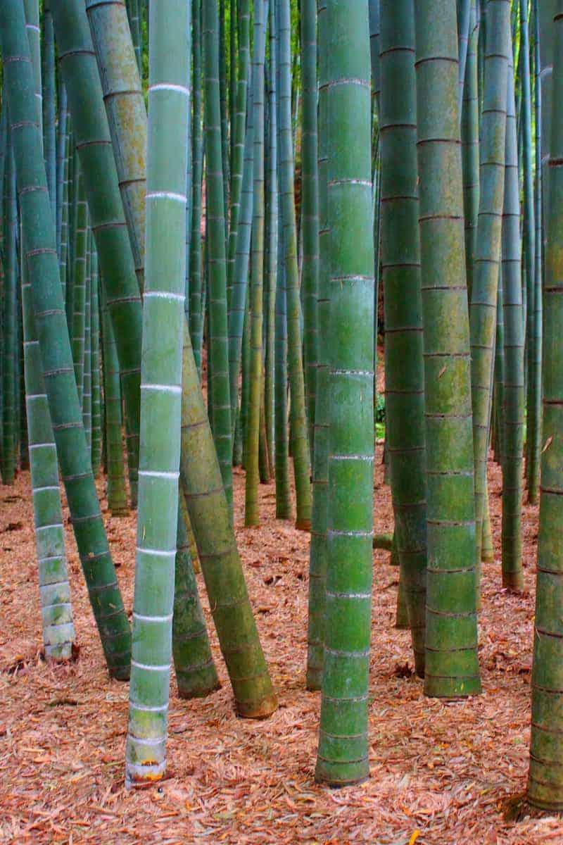 Fotoreis Japan Kamakura bamboebos
