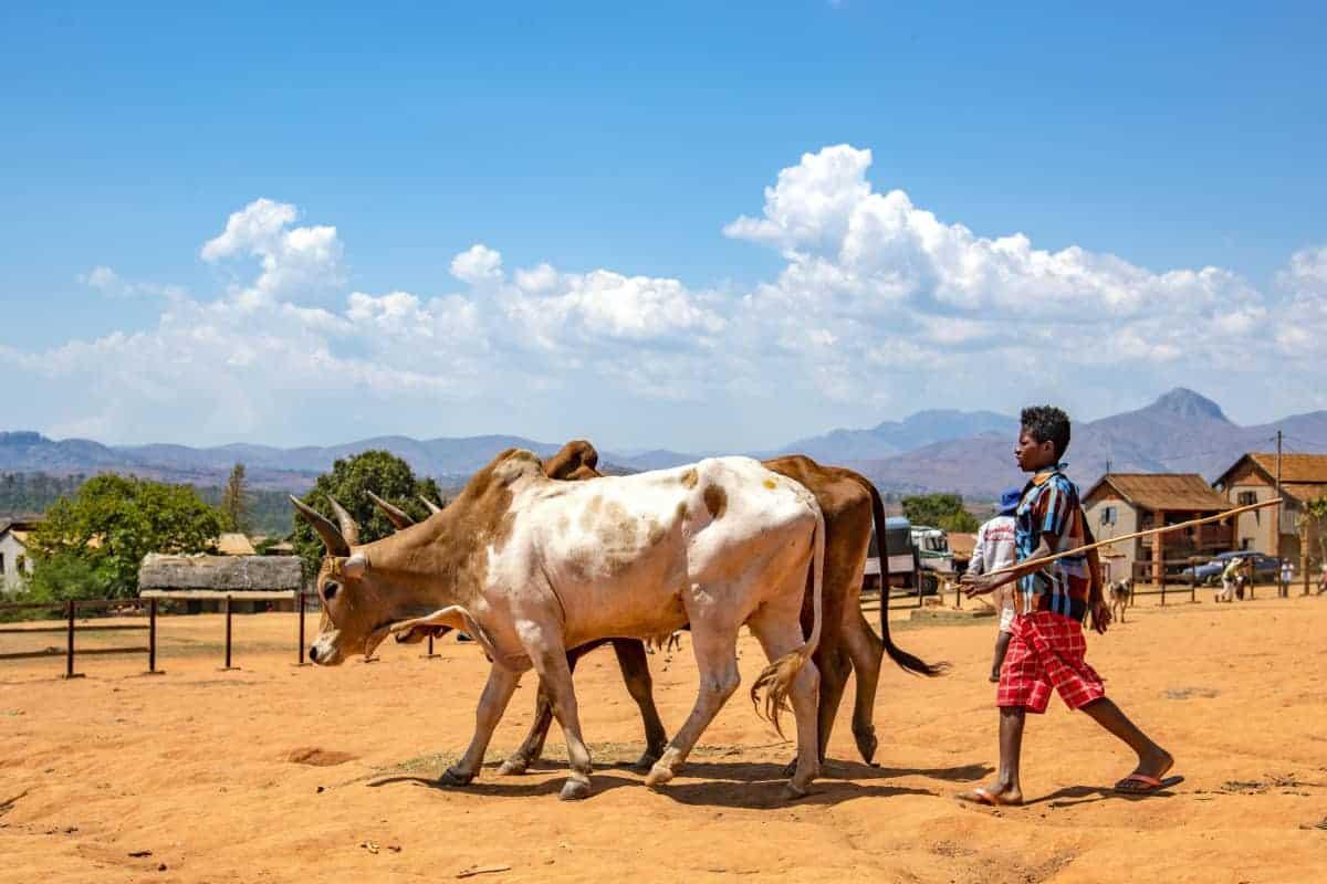 Fotoreis Madagaskar Ambalavao koeienhoeder