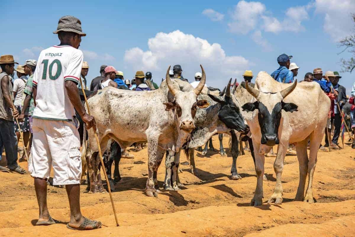 Fotoreis Madagaskar Ambalavao koeienmarkt