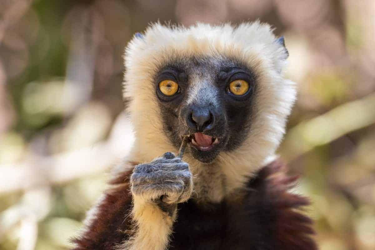 Fotoreis Madagaskar Antananarivo Lemur Park