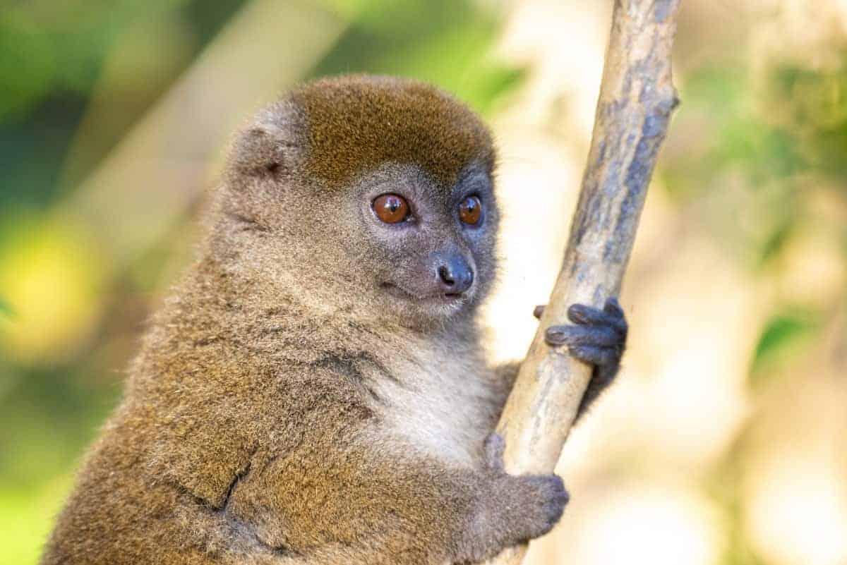 Fotoreis Madagaskar Antananarivo jonge lemuur