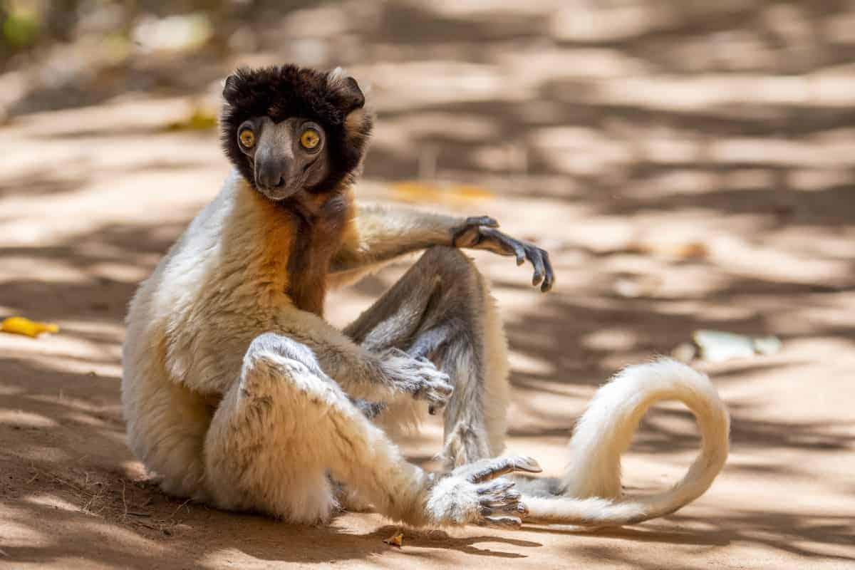 Fotoreis Madagaskar Antananarivo lemuur zittend