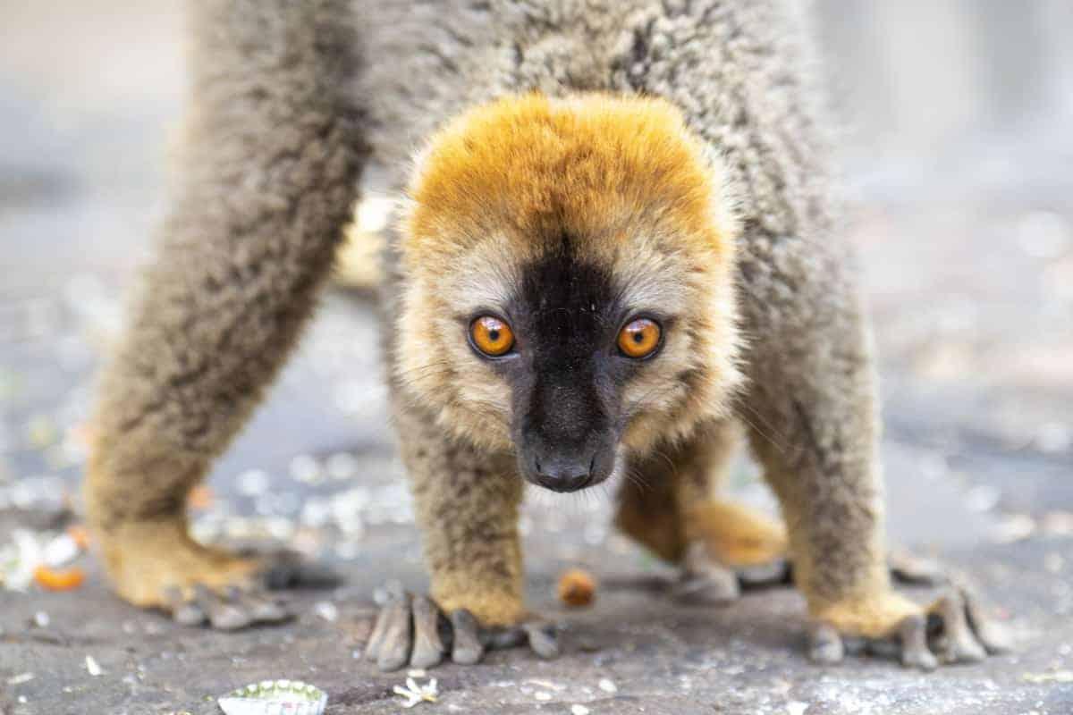 Fotoreis Madagaskar Isalo lemuur