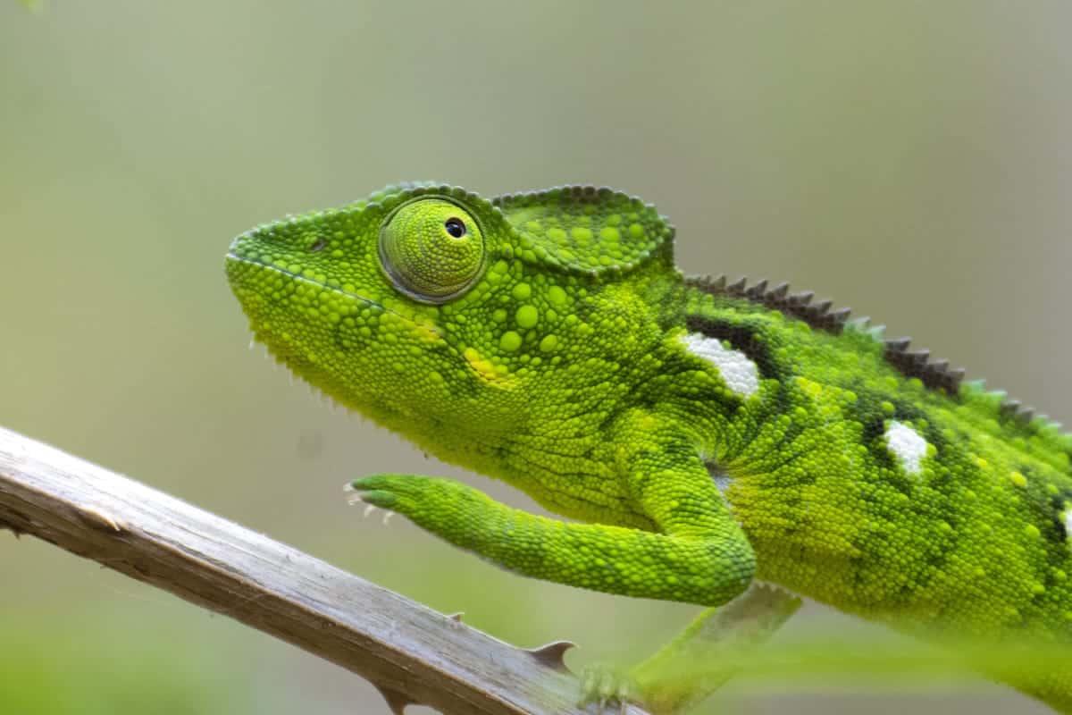 Fotoreis Madagaskar Parque d'Anja kameleon