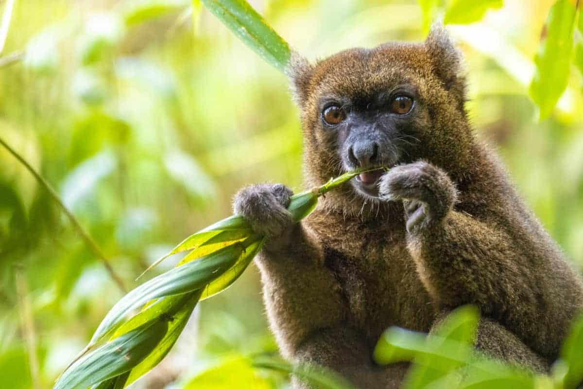 Fotoreis Madagaskar Ranomafana lemuur
