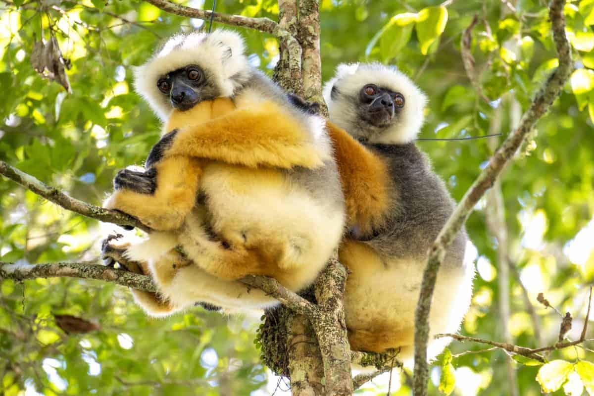 Fotoreis Madagaskar Ranomafana twee lemuren in de boom