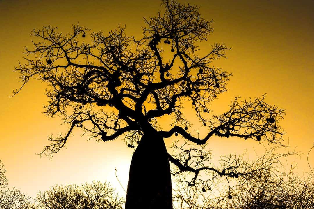 Fotoreis Madagaskar Spiny Forest baobab in avondlicht