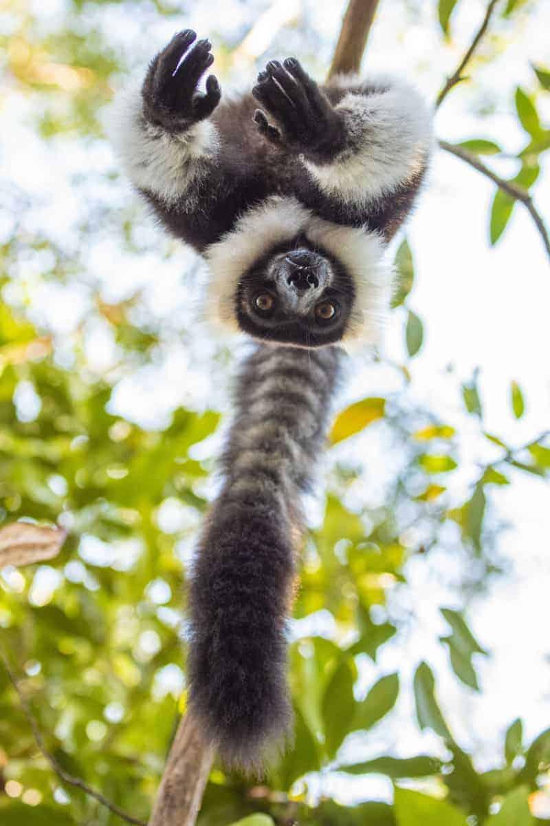 Fotoreis Madagaskar lemuur op de kop
