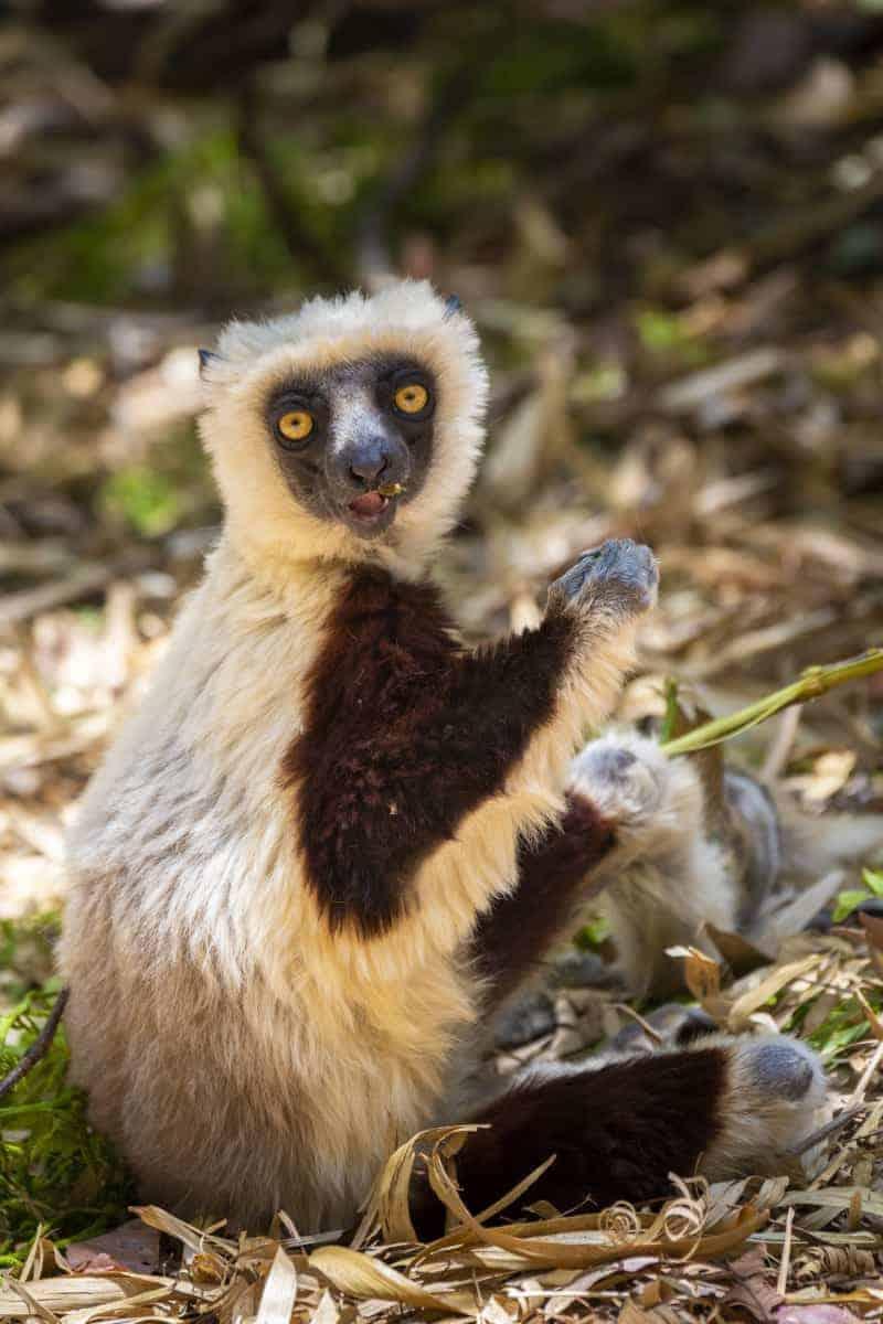 Fotoreis Madagaskar lemuur etend