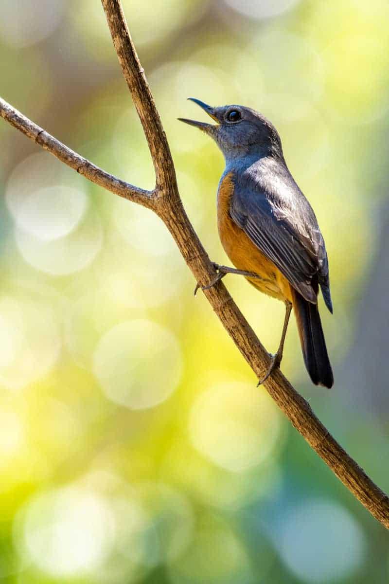 Fotoreis Madagaskar zingende vogel