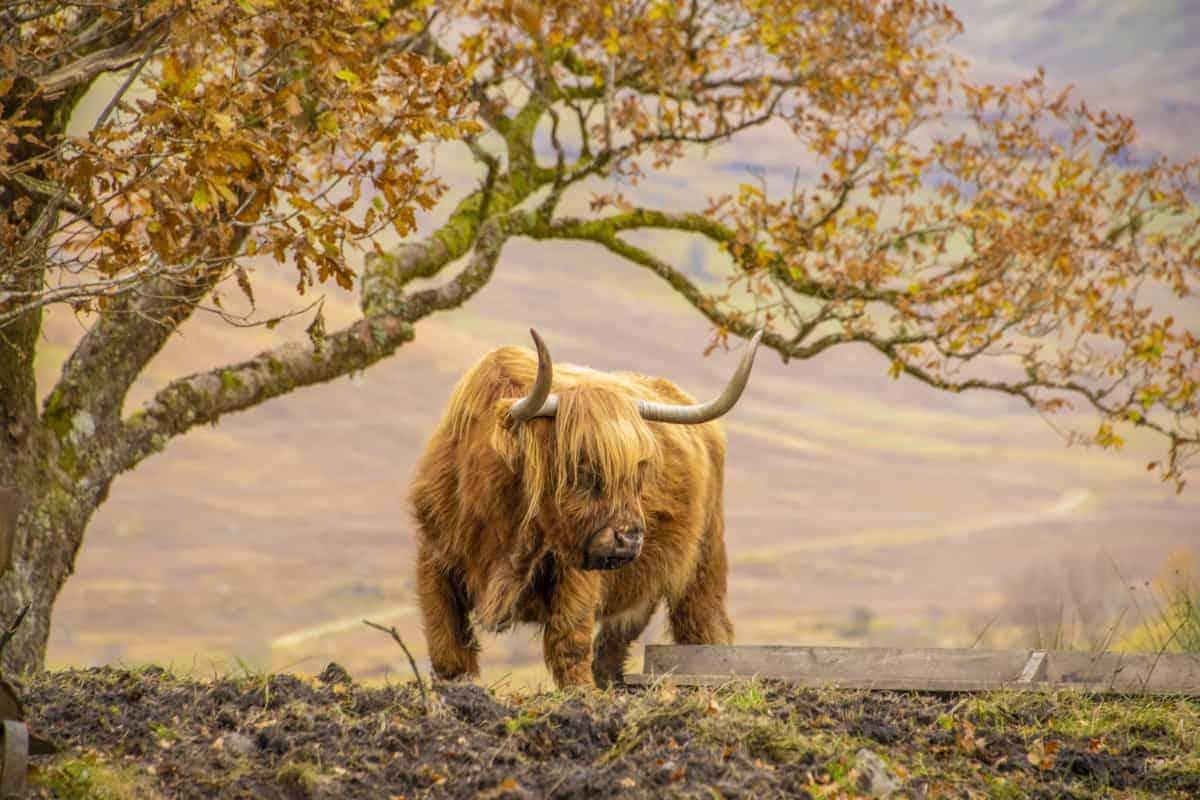 Schotse hooglander tijdens de fotoreis Schotland