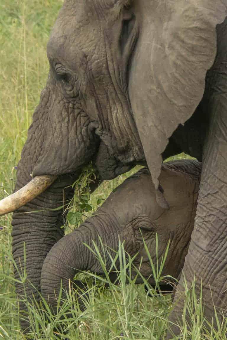 Fotoreis Tanzania - Babyolifant bij moeder