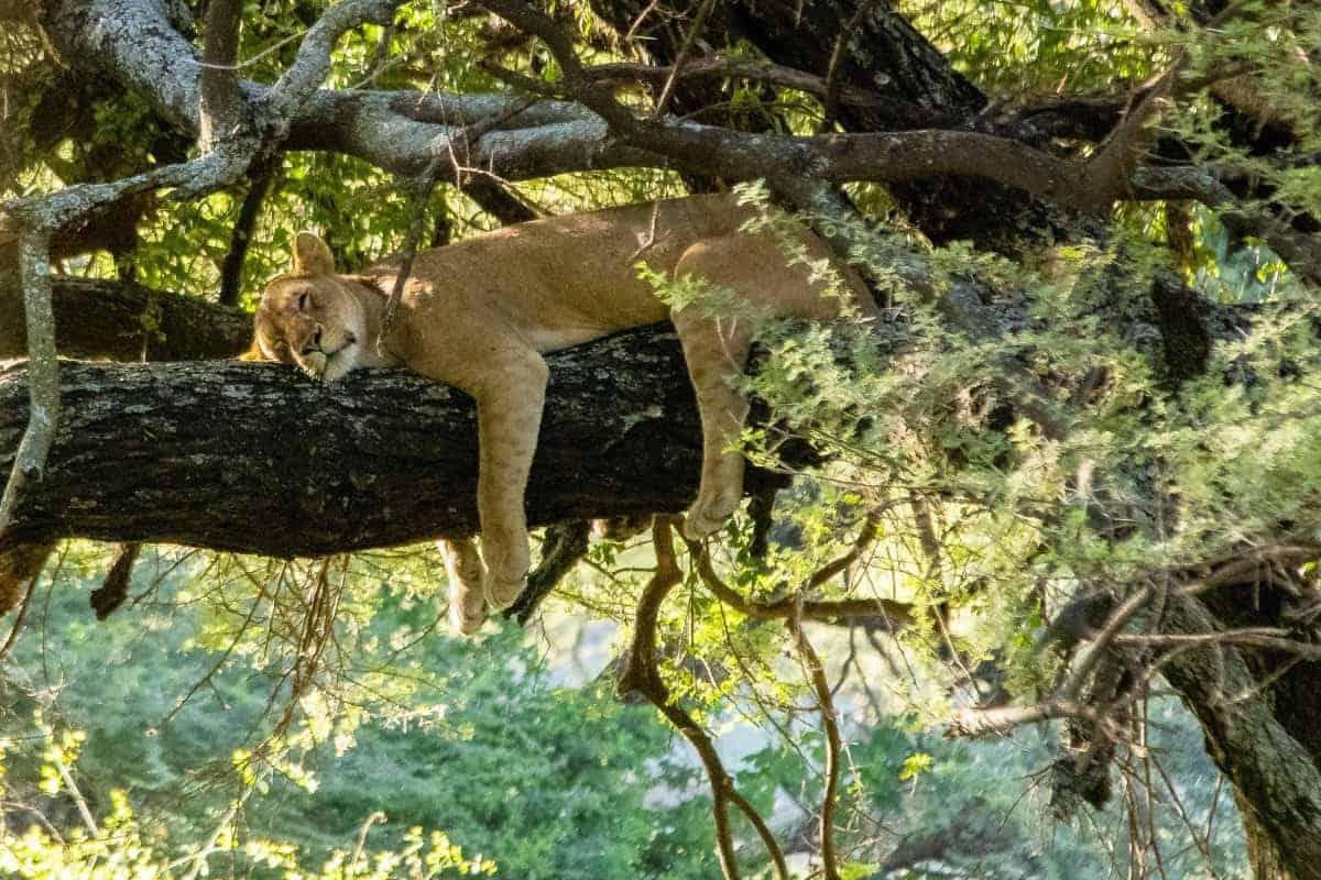 Fotoreis Tanzania - Leeuw slaapt in de boom
