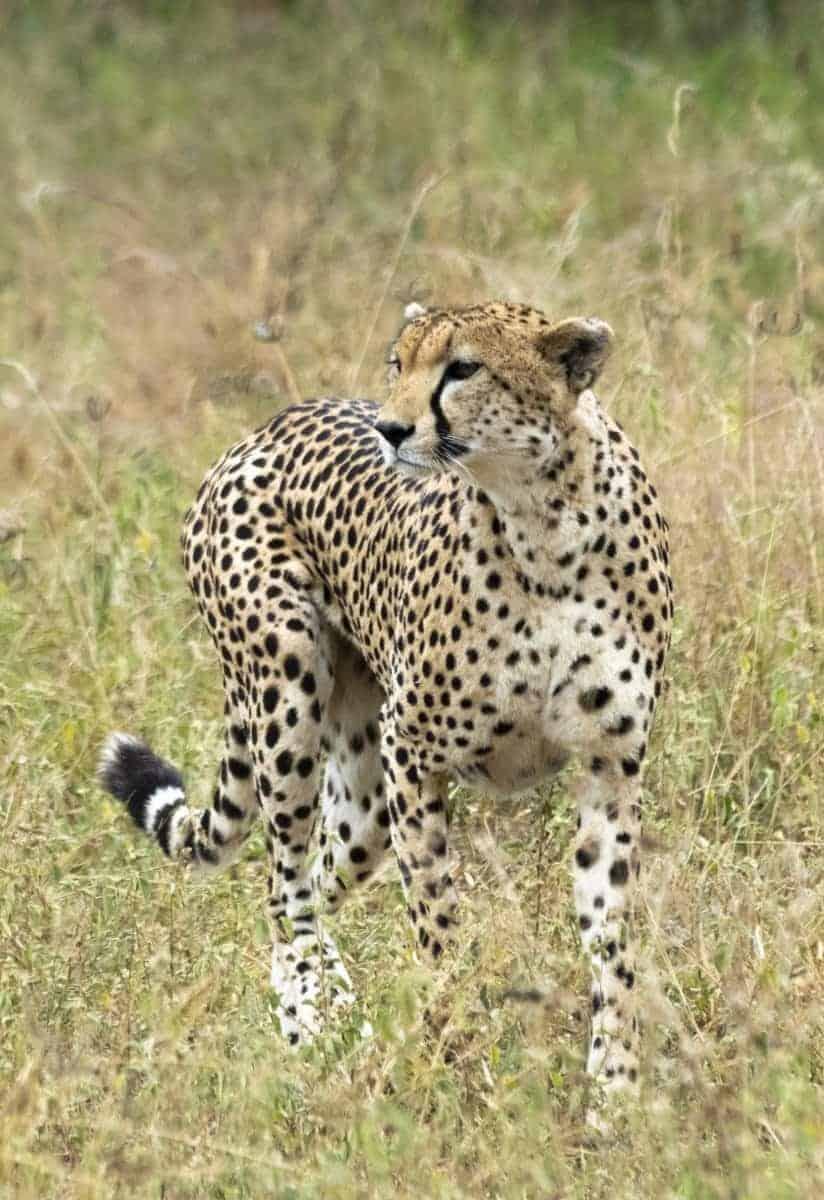 Fotoreis Tanzania - Cheetah in het gras