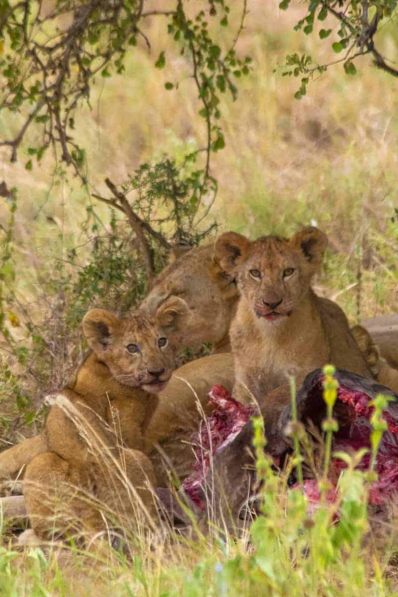 Fotoreis Tanzania - Familie leeuw aan de maaltijd