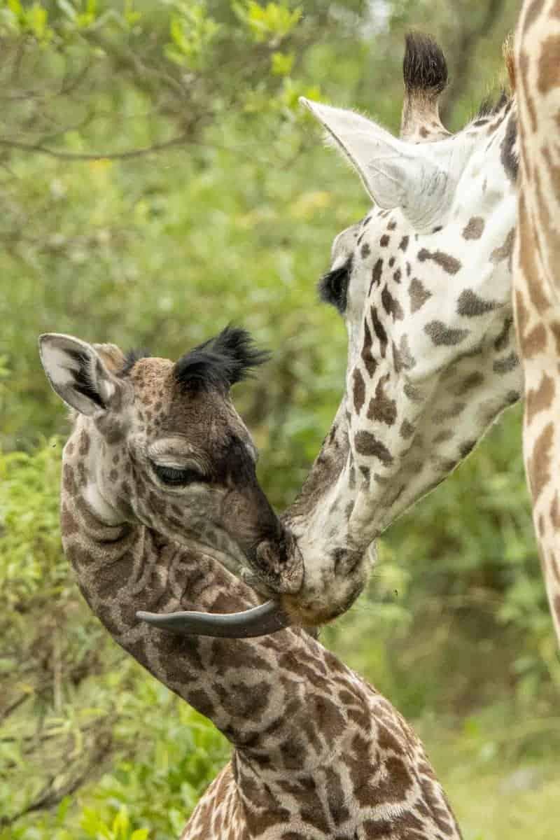 Fotoreis Tanzania Giraffenjong