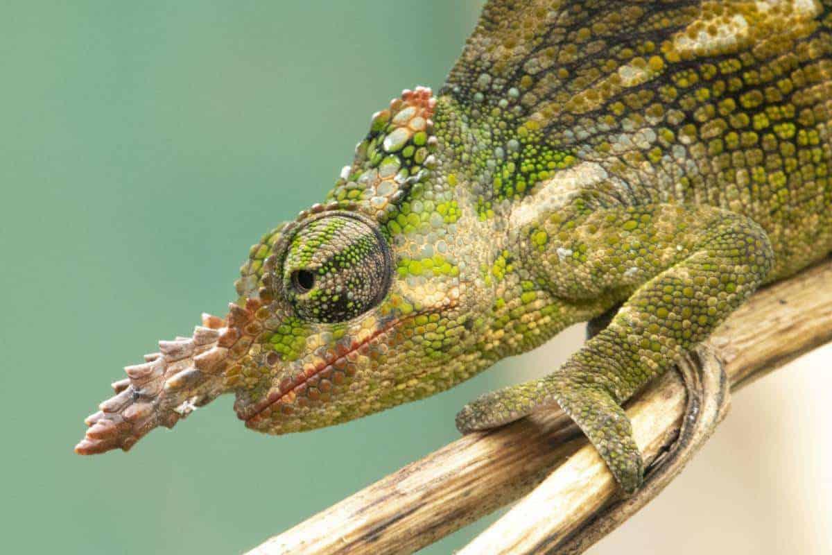 Fotoreis Tanzania - KIlimanjaro kameleon