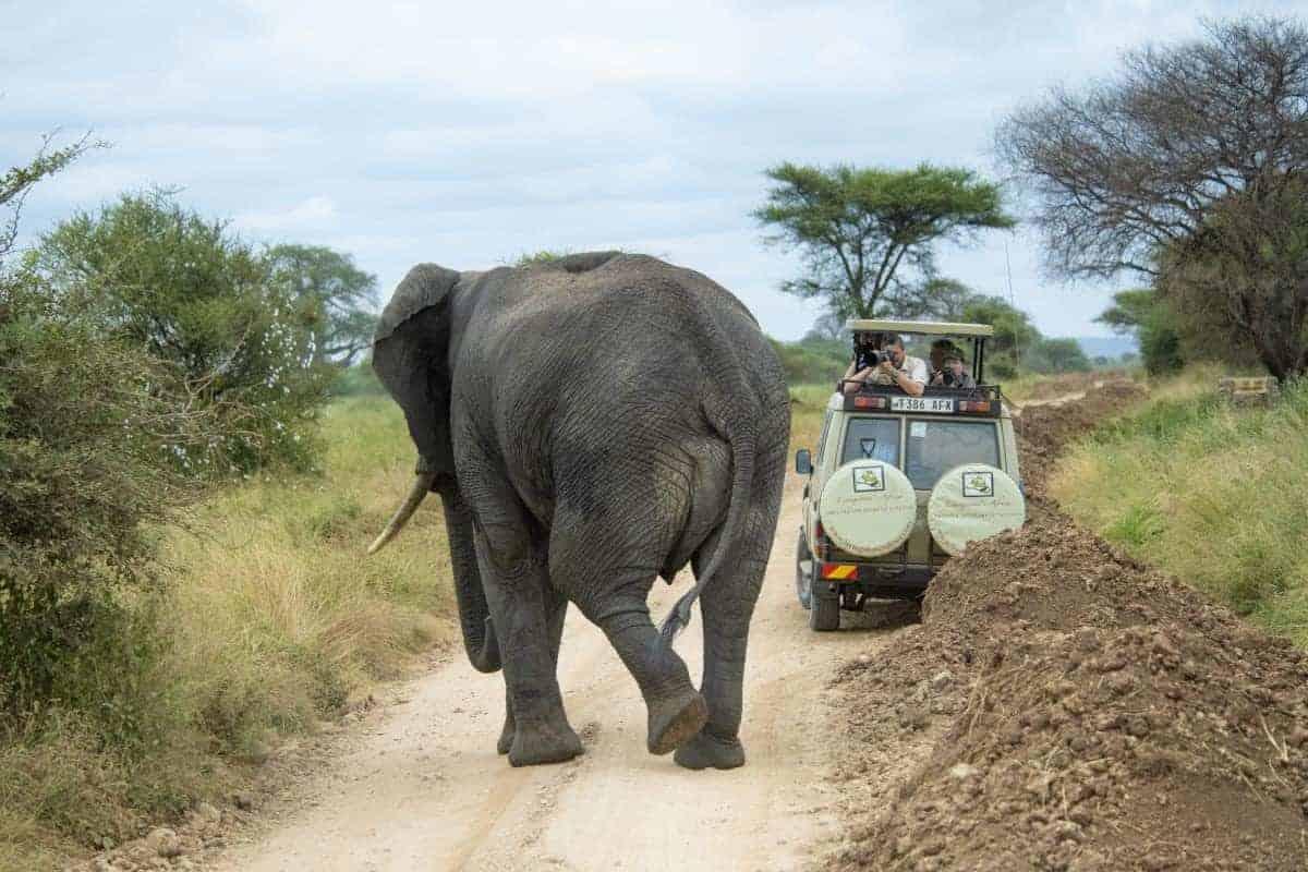 Fotoreis Tanzania Olifant achter de Jeep